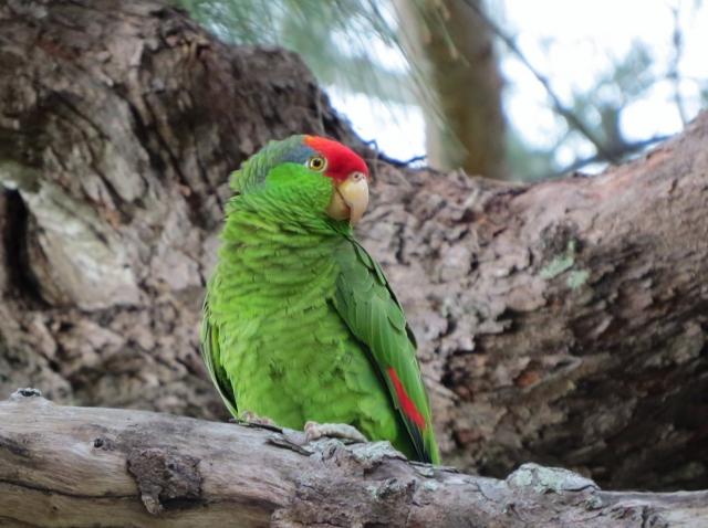 Stephen Pruett‑Jones on Naturalized Parrots of the World
