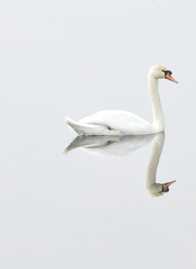 Photo of a swan