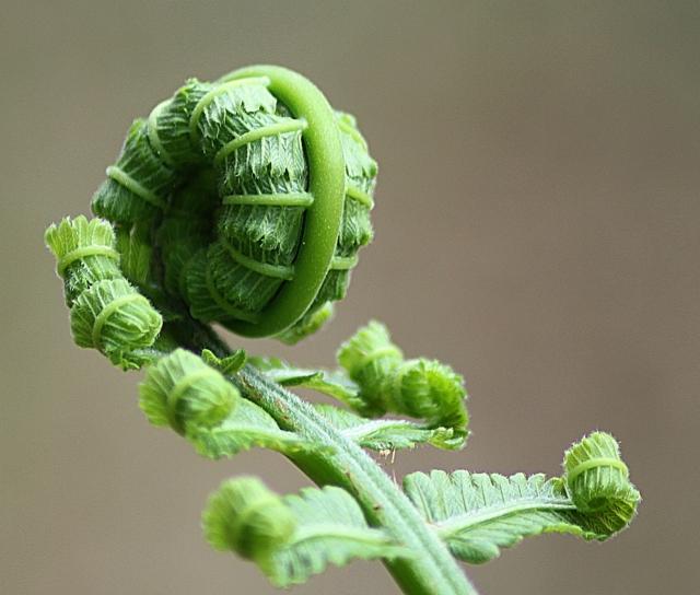 Photo of fern unfurling