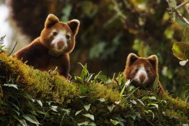 A mother Huon Tree Kangaroo (Dendro lagus matschiel) and her young peer down from a mossy limb