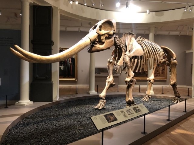 Mastadon skeleton on display in museum