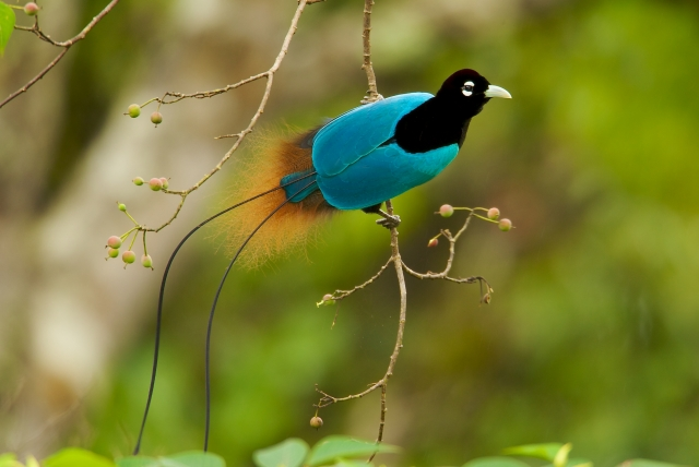 New Guinea Male Blue Bird of Paradise
