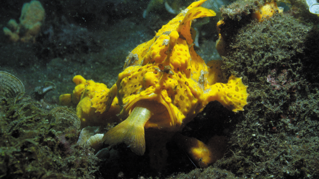 Big Pacific, Frogfish trapping victim in its mouth