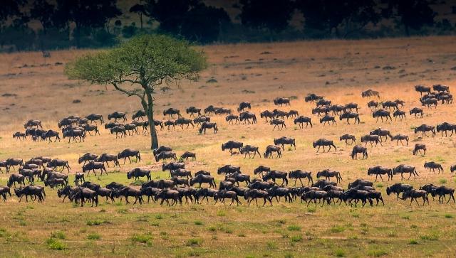 herd moving across the Serengeti