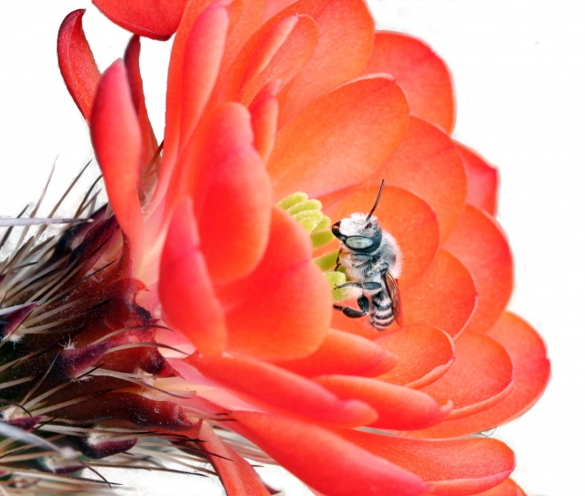 Bee on a red cactus flower