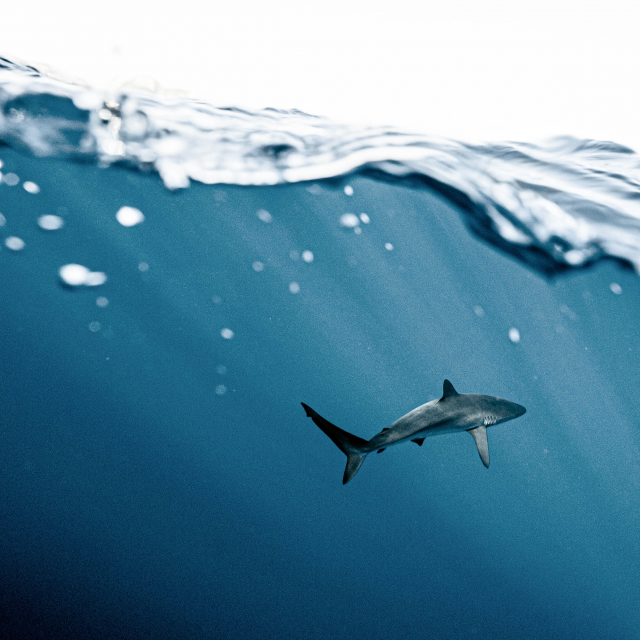 Image of shark underwater