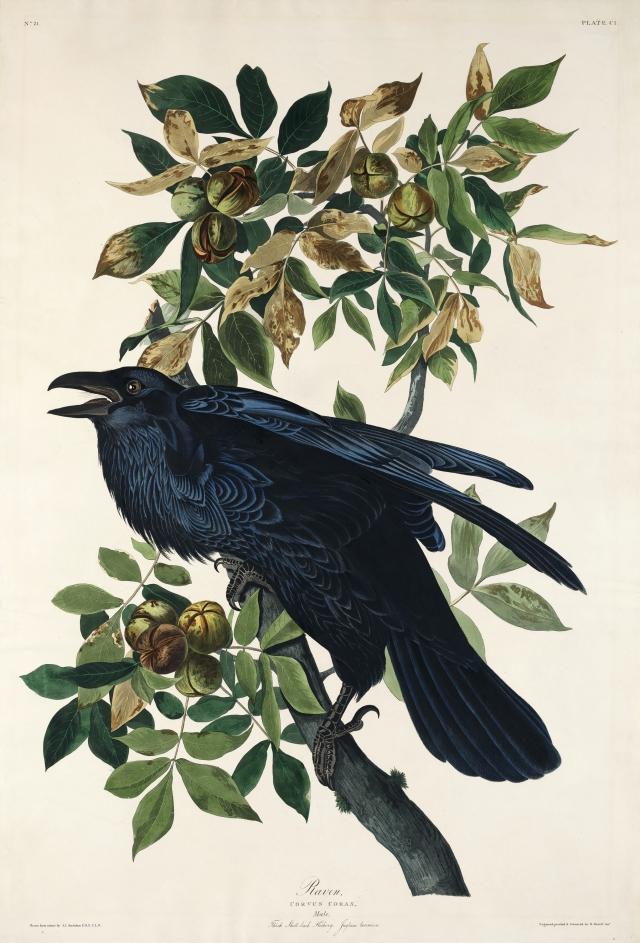 Illustration of a raven on a branch